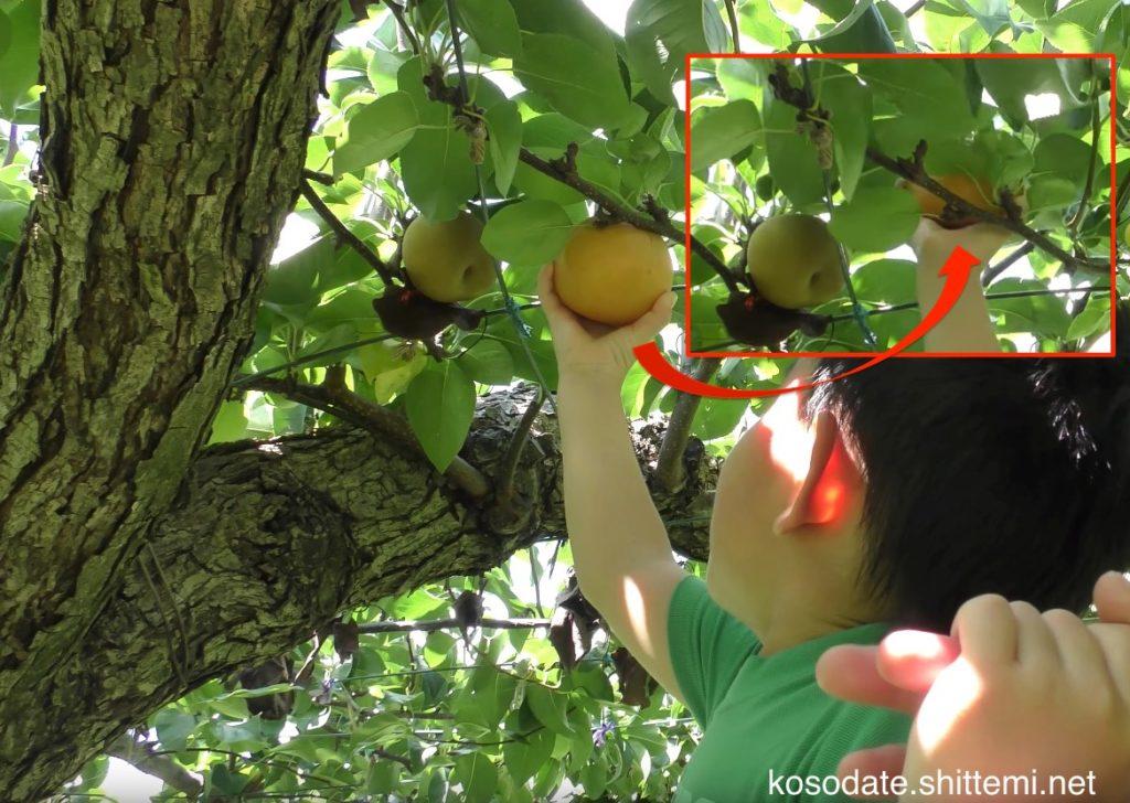 梨を採る方法