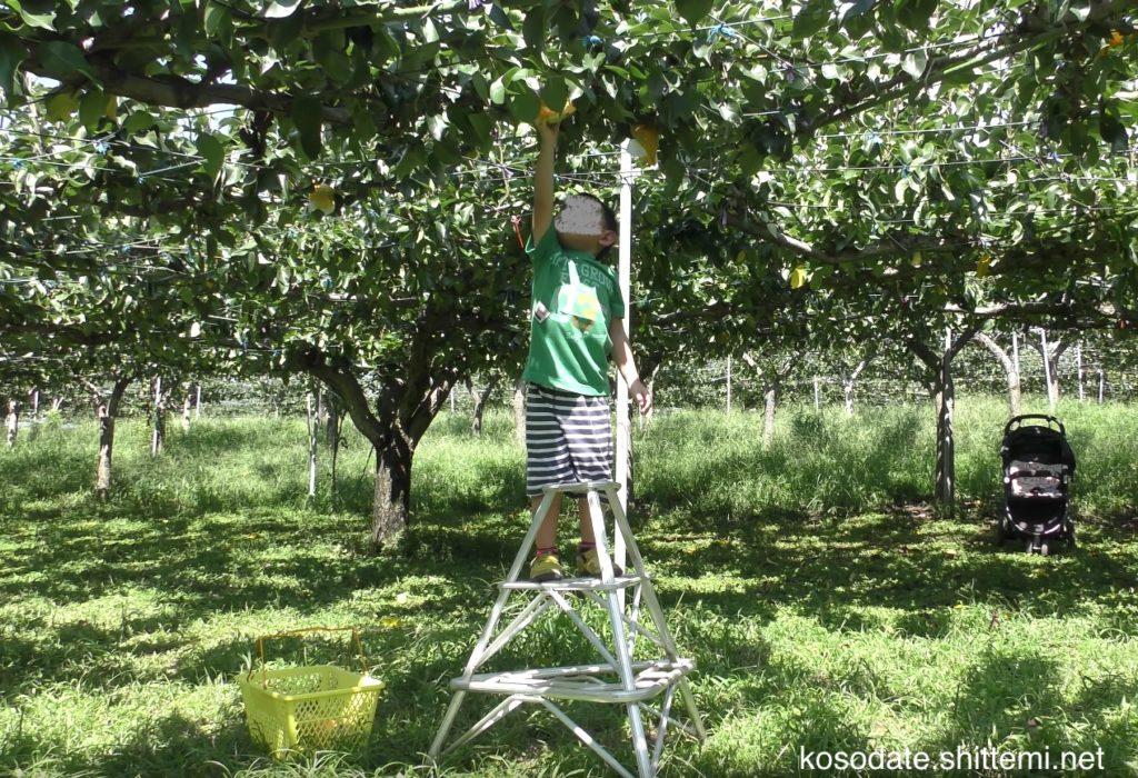 梨を自分で採る長男