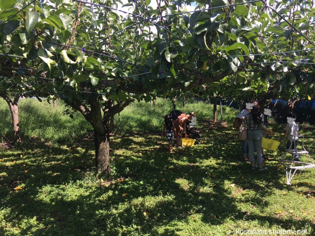 せど梨園の梨狩り場所
