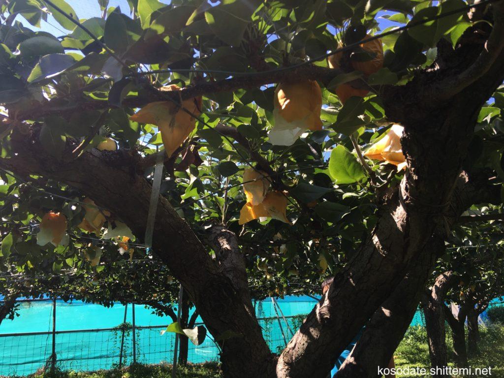 二十世紀梨(袋付き)
