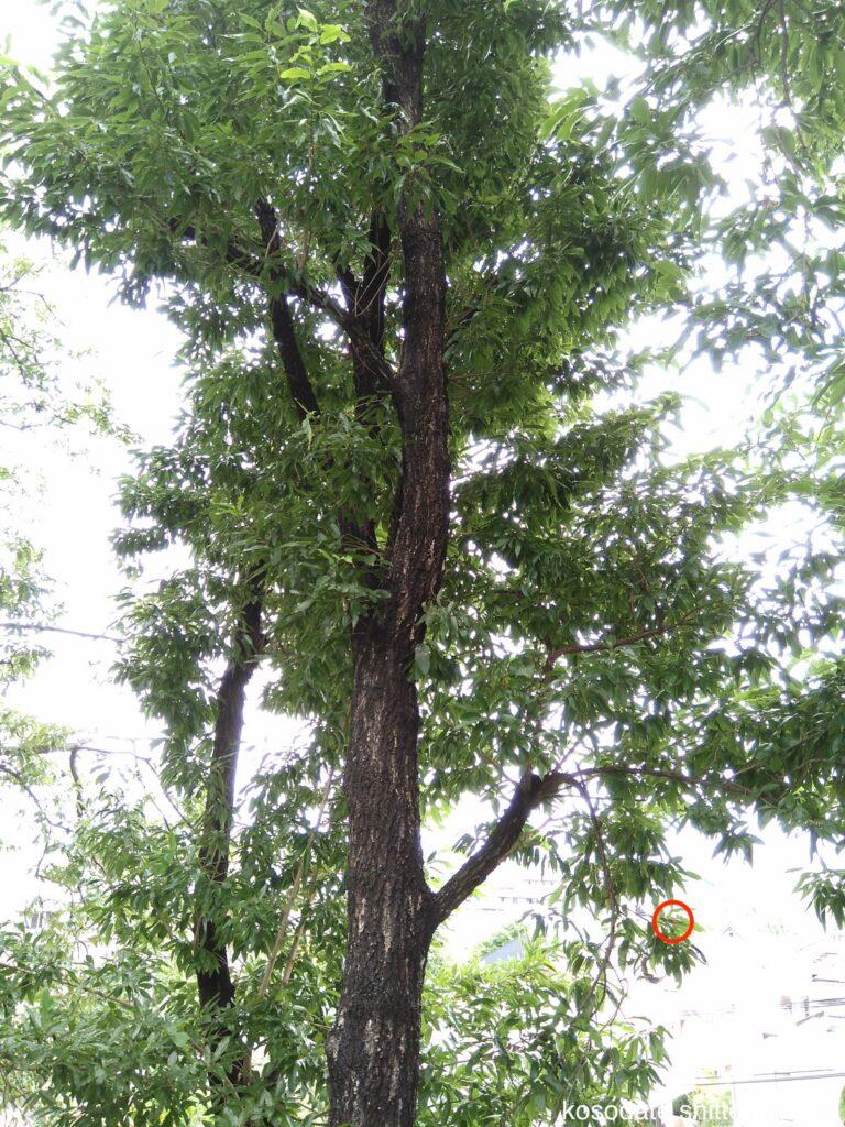 鷺沼北公園 クヌギの木